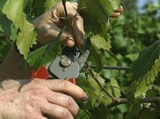 pruninggrapevines