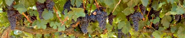 wp-grapevine-banner1