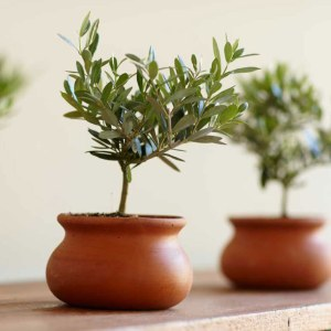 olive-plant-topiary-xl